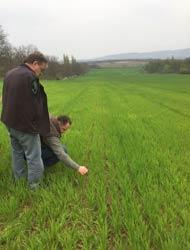 Gelbmosaikvirus bei Weizen auf dem Vormarsch!-