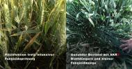 AKRA foliar fertilizer with a small amount of fungicide in comparison-
