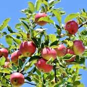 AKRA Düngesystem für Apfel-Image by Capri23auto from Pixabay