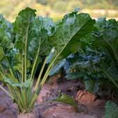 AKRA système de fertilisation pour la betterave sucrière-Image by aixklusiv from Pixabay