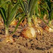 AKRA système de fertilisation pour l'oignon et les plantes alliacées-Image by Couleur from Pixabay